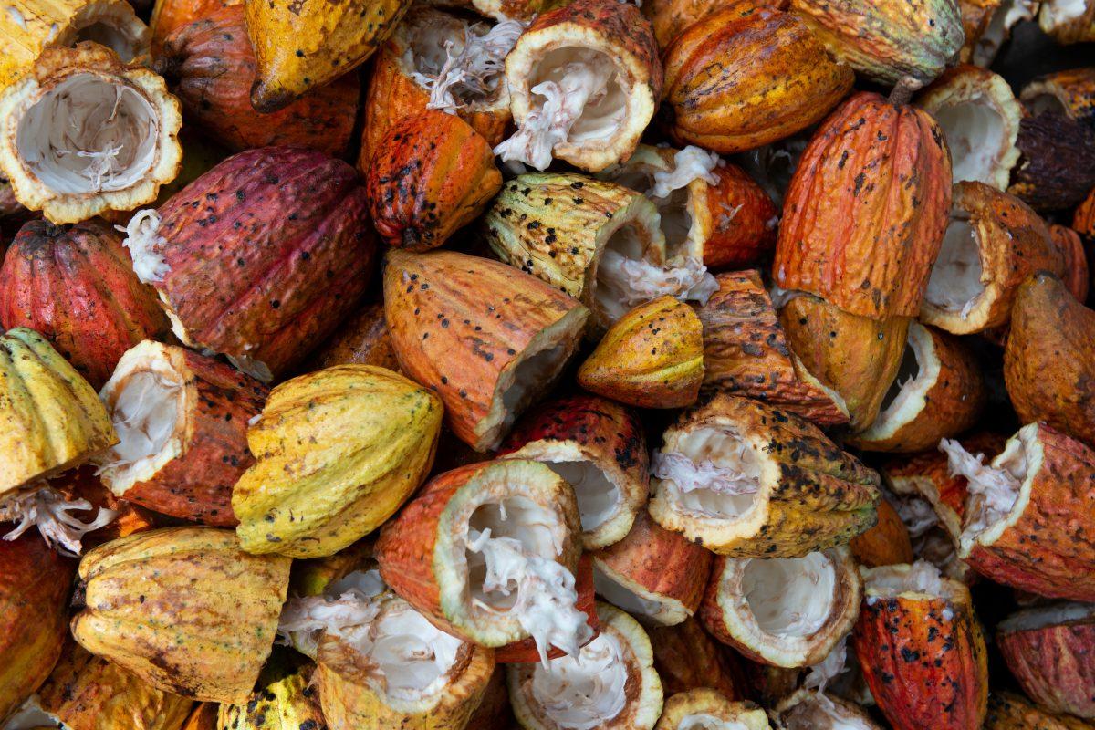"Photo by <a href=""https://unsplash.com/@rodrigoflores_photo?utm_source=unsplash&utm_medium=referral&utm_content=creditCopyText"">Rodrigo Flores</a> on <a href=""https://unsplash.com/s/photos/cacao-tree?utm_source=unsplash&utm_medium=referral&utm_content=creditCopyText"">Unsplash</a>"